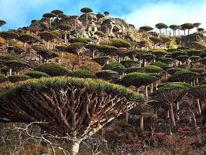 Dragon blood tree in Socotra Island