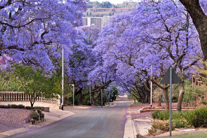 Jacaranda trees in a street at Pretoria