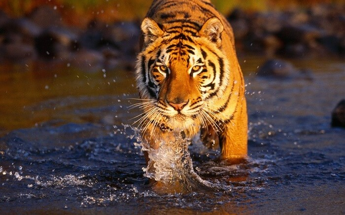 A tiger wanders at the Royal Bardia National Park in Nepal