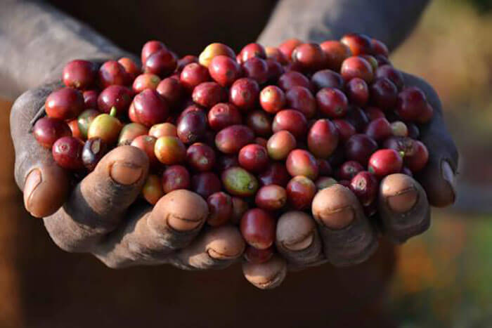 A farmer holding coffee seeds in his hands at Lambasingi