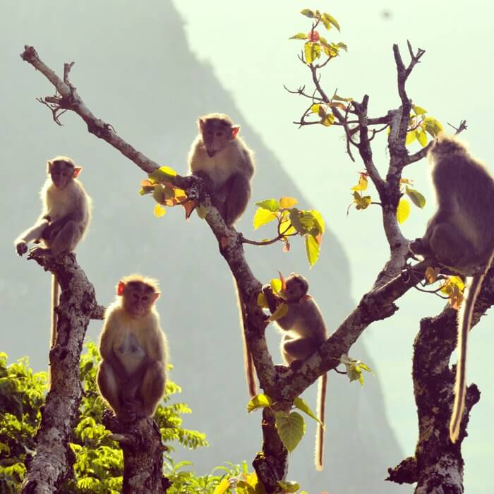 A beautiful shot of Monkeys in the Hilss