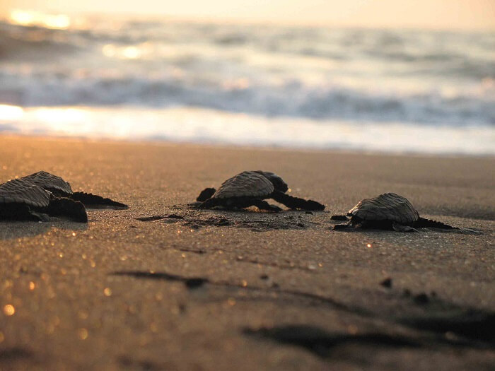 Little turtles on the banks of Velas village in Maharashtra - One of the most offbeat places in India