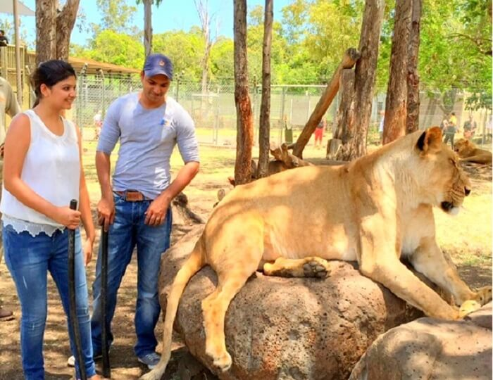 Interaction with lion at the Casela Wildlife Park