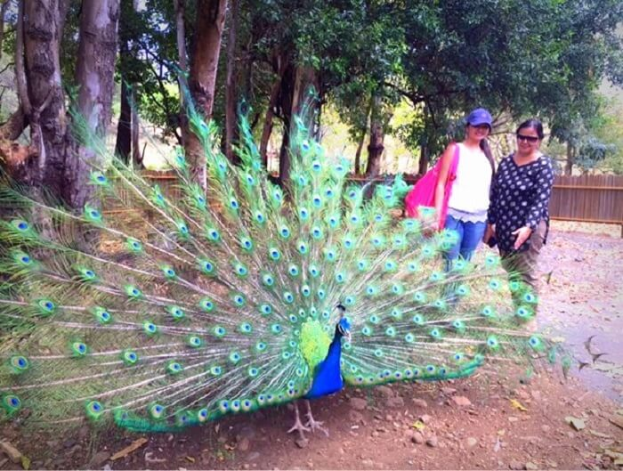 Admiring a beautiful peacock at Casela Park