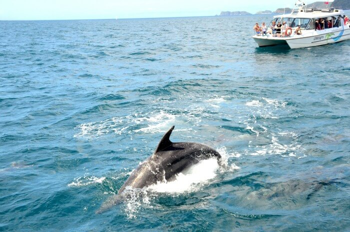 A beautiful dolphin in the clear waters in New Zealand
