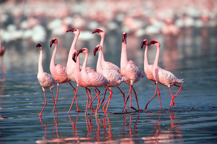 A pack of Flamingos, a delight for bird watchers taking a road trip to Kutch