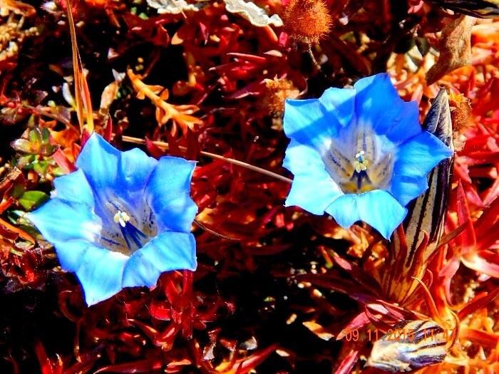 Blue Poppies in Bhutan