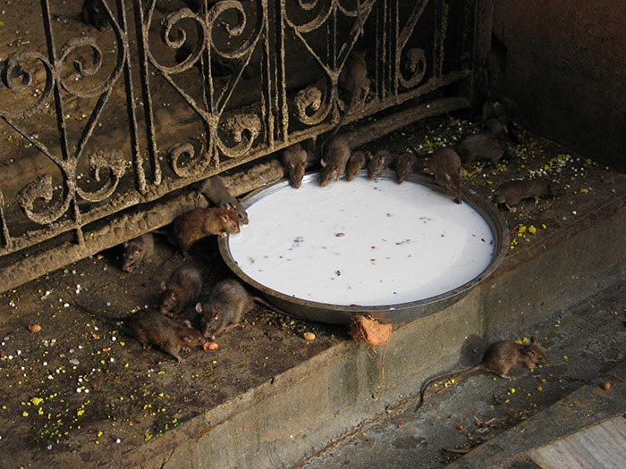 Rats roaming around the Karni Mata Temple at Deshnok