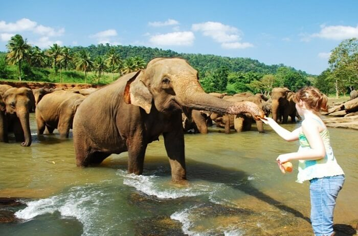 A tourist feeding the elephants at Pinnawala Elephant Orphanage
