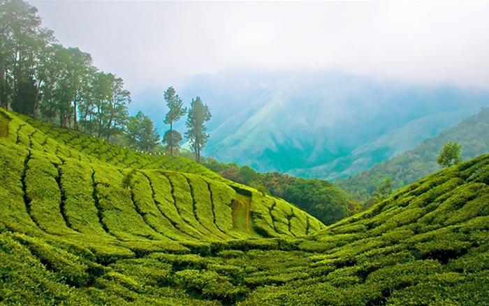 The coffee plantation in Murikkady