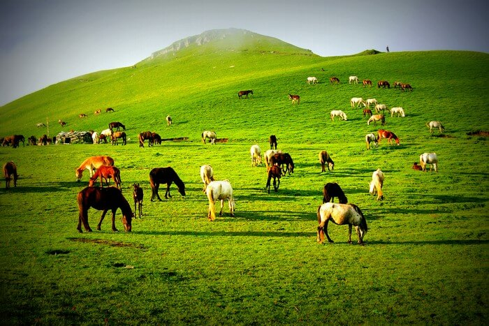 Cattles grazing in the beautiful green meadows of Ali Bugyal