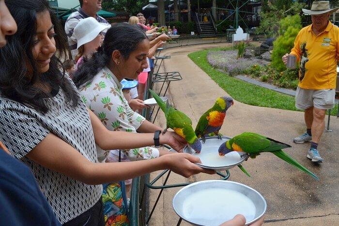 Feeding Parakeet Currumbin Wildlife Sanctuary