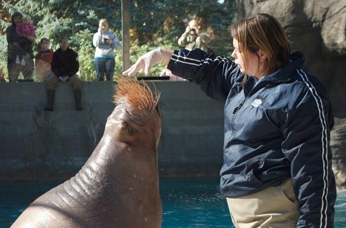 A lady feeding the fur seal of Sentosa Underwater World