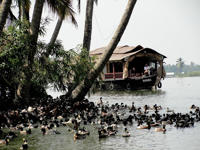 Learning about duck farming is among the major Alleppey attractions
