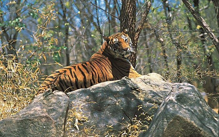 A tiger rests on a stone in the Periyar Tiger Reserve