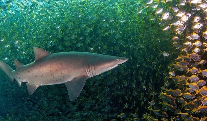 Shark disturbing a school of fish in Underwater World of Sentosa
