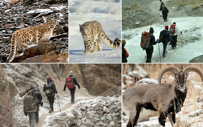 Scenes from the famous Snow Leopard winter trek in Himalayas