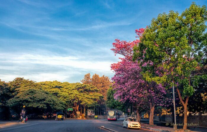 Beautiful and colourful trees in Bangalore city