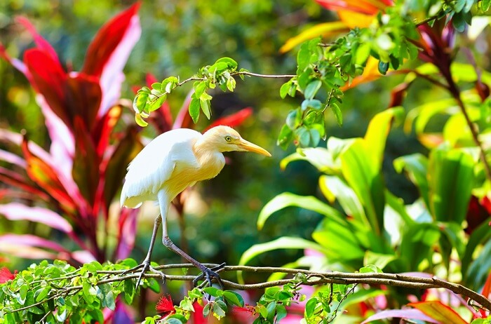 Cattle Egret Bird enjoying the sunshine time in Kuala Lumpur Bird Park