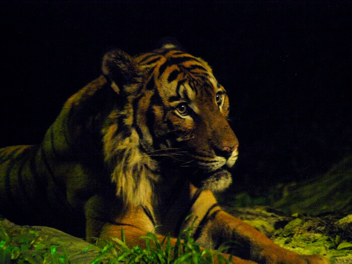 Closeup of Malayan Tiger in East Lodge Trail of Night Safari in Singapore
