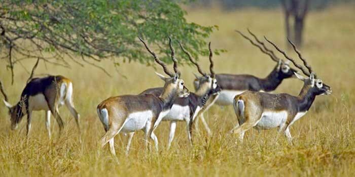 Stags flock together amidst the Guindy National Park which is also among the most romantic places in Chennai