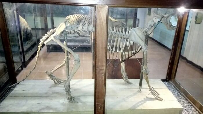 An animal's skeleton displayed at Corbett Museum