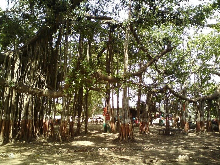 Ancient banyan tree at Kabirwad is a popular tourist attraction