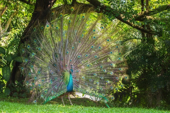 Peacock dancing in the lush greenery of Kuala Lumpur Bird Park – one of the best places to visit in Kuala Lumpur