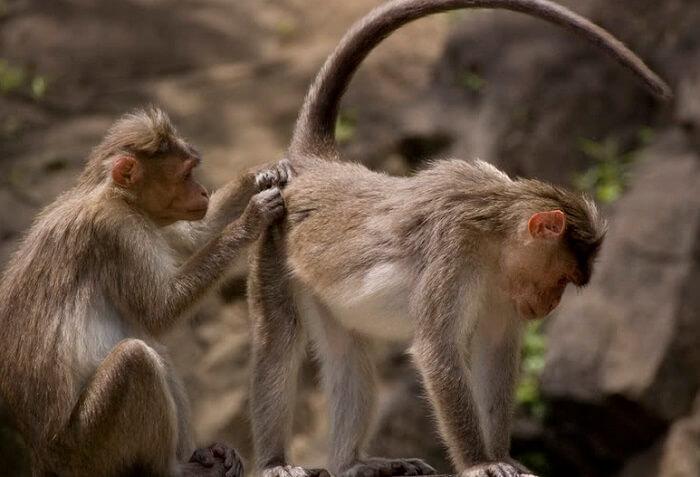 Two Indian macaques playing at Dudhsagar Waterfalls