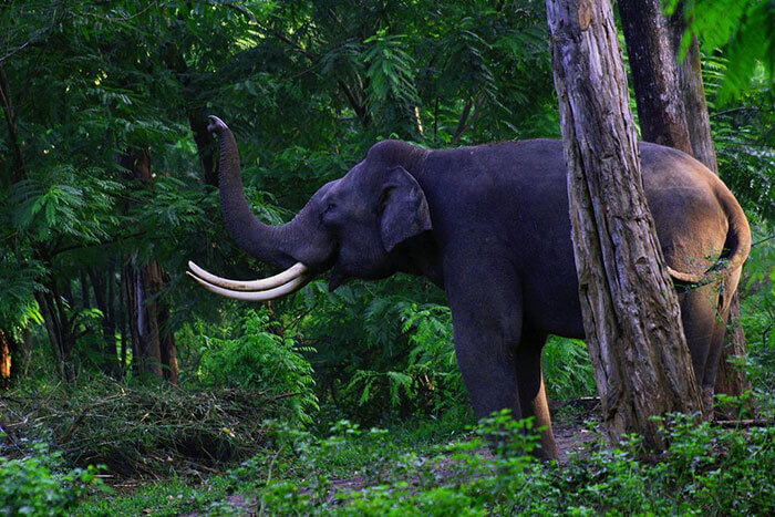 An elephant in Kalatop Wildlife Reserve, among the prominent tourist places in Dalhousie