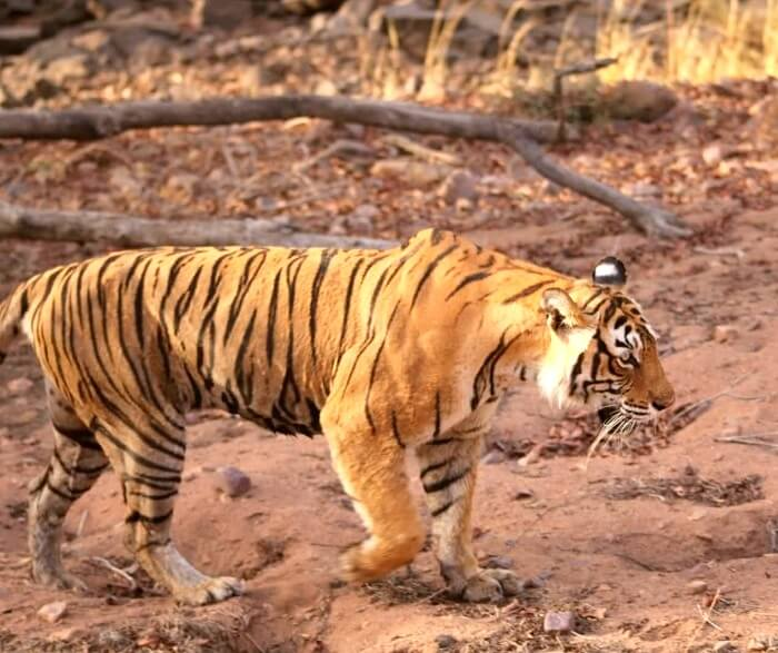 Tigers in Ranthambore