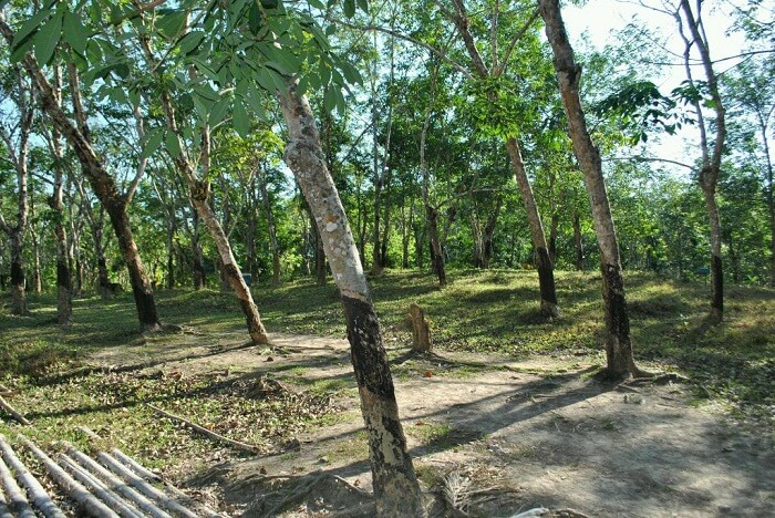 The rubber plantations in Wandoor