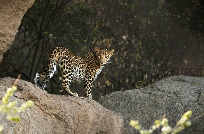 A leopard in Mount Abu Wildlife Sanctuary