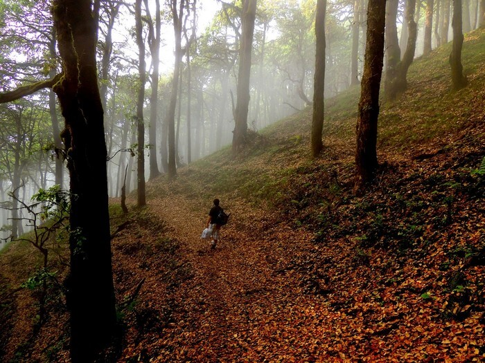 A trekker walks through the beautiful forest in Mussoorie