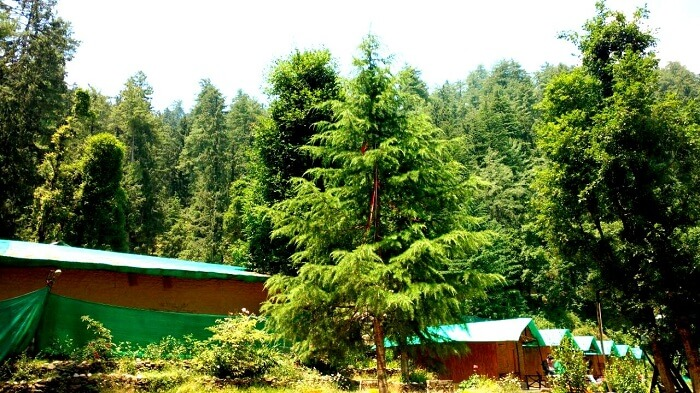 Forest cover in Mashobra