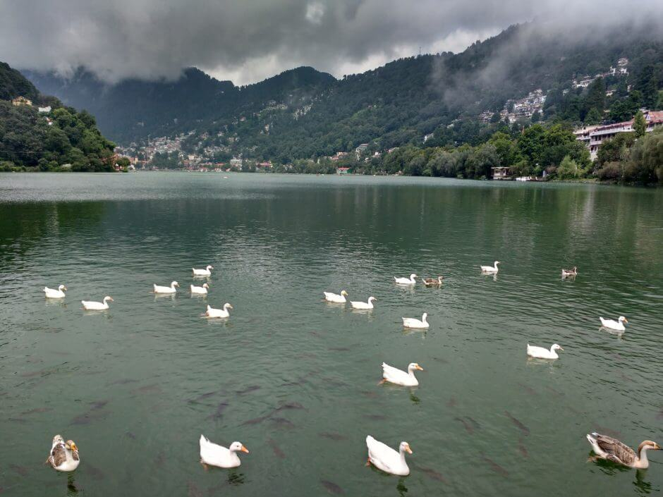 ducks swimming in Naini Lake