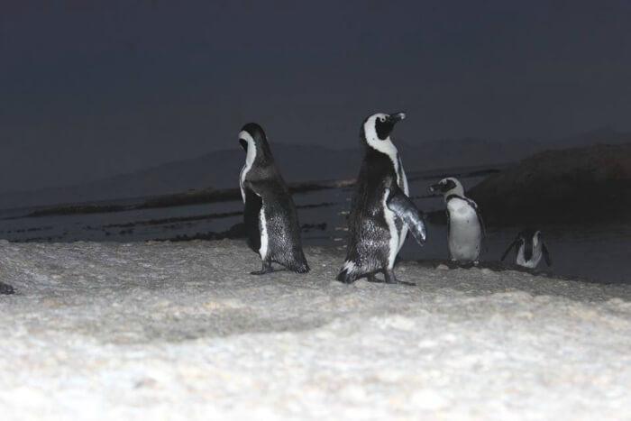 Penguin sighting at Camps Bay
