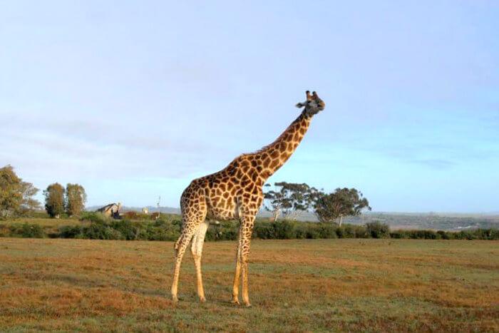 Giraffe viewing in Safari