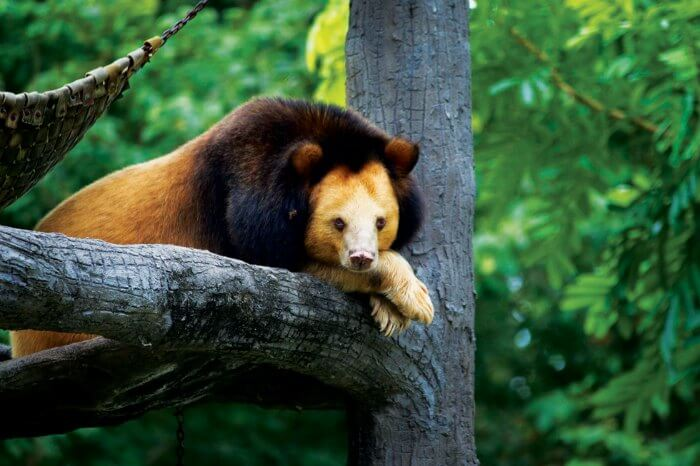 A bear lying on a tree branch in the Virachey National Park in Cambodia