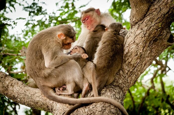 A family of Indian monkeys enjoying a peaceful day at Bandipur National Park in Karnataka