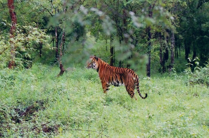A tiger in the wilds of Shimoga - One of the greenest tourist spots in Karnataka