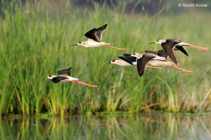 Black Winged Stilts in flight at Nawabganj Bird Sanctuary
