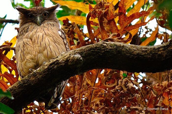 Collared Scops Owl resting on a treek branch at Chintamoni Kar Bird Sanctuary