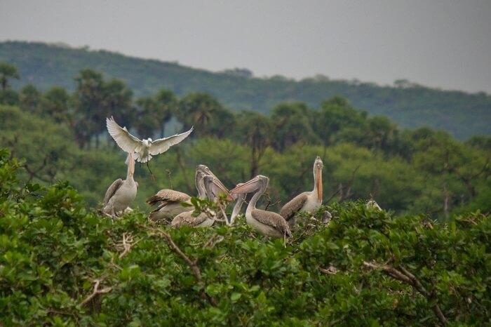 Flock of Spoonbills at Vedanthangal Bird Sanctuary