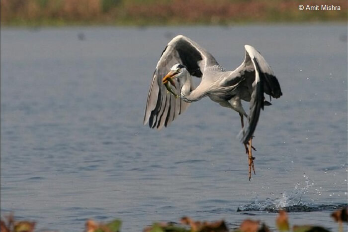 A Grey Heron diving to catch a fish and then eating it.