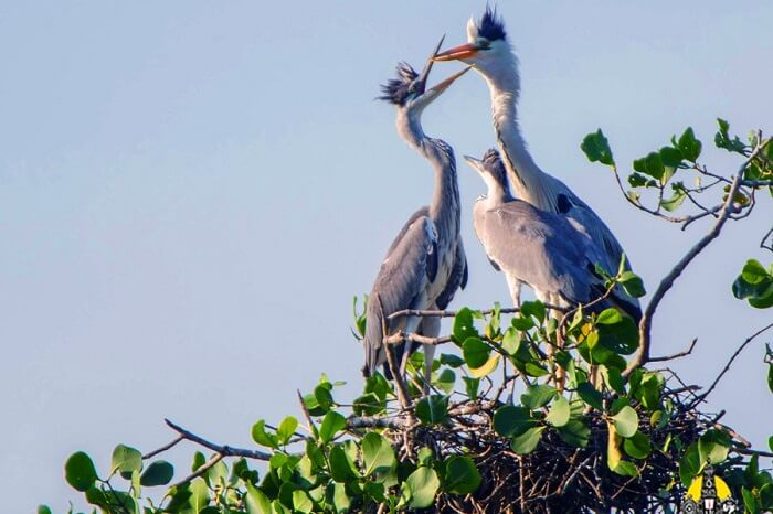 A family of migratory birds relaxes at their nest on tree top in the Kaundinya Bird Sanctuary