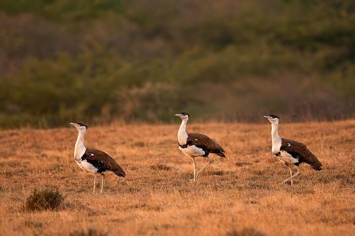 Bustards caught walking through the Kutch Great Indian Bird Sanctuary