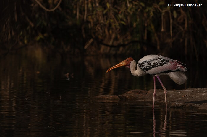 A painted stork on the banks of the water body at the Ranganathittu Bird Sanctuary