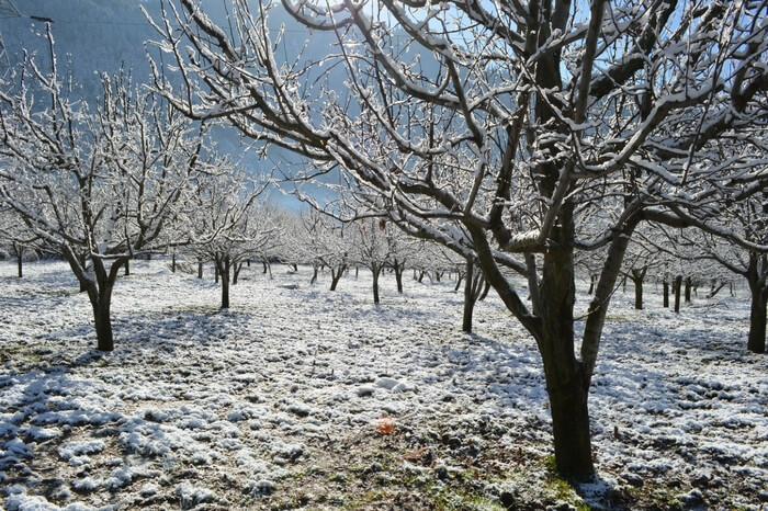 Apple trees in winter in Kullu-Manali valley
