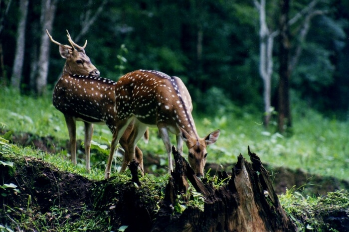 Deers at the famous Neyyar Wildlife Sanctuary